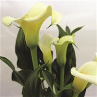Calla Lily* Fragrance Oil 328