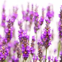 Lavender* - EO & FO Blend 590