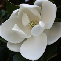 3628-Magnolia-Fragrance-Oil-355