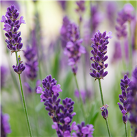 Lavender Breeze - EO & FO Blend 223