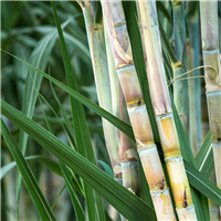 4303-Bamboo-Sugar-Cane-Fragrance-Oil-552