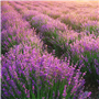 Lavender 40/42 EO- Certified 100% Pure 139