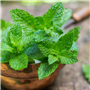 Spearmint EO - Certified 100% Pure 713