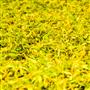Ylang Ylang III  EO - Certified 100% Pure 719