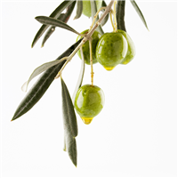 Olive* Fragrance Oil 437