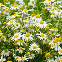 Chamomile Fragrance Oil 823