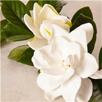 Gardenia* Fragrance Oil 158