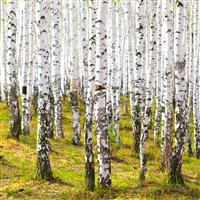 Cashmere Woods Fragrance Oil 700