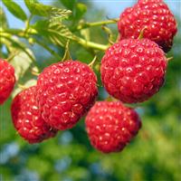 Sun Ripened Raspberry* FO (Special Order)