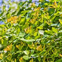 Wild Honeysuckle* Fragrance Oil 250