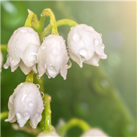 Lily of the Valley Fragrance Oil 175