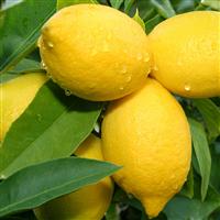 Lemon Verbena - EO & FO Blend 715