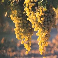Vineyard* Fragrance Oil (Special Order)