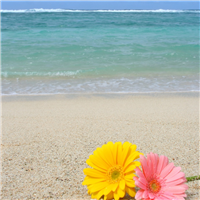 Beach Daisies Fragrance Oil 456