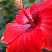 Red Hibiscus & Acai Fragrance Oil 359