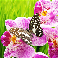 Butterfly Orchid Fragrance Oil 623
