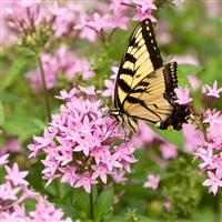 Butterfly Flower* Fragrance Oil 290