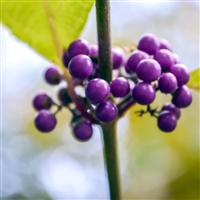 Harvest Berry* Fragrance Oil (Special Order)