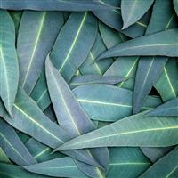 Eucalyptus (80/82) EO - Certified 100% Pure 705