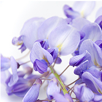 Wisteria Fragrance Oil (Special Order)