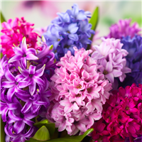 Hyacinth Fragrance Oil