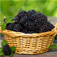 Fresh Picked Blackberry Fragrance Oil