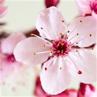Japanese Cherry Blossom* FO 695