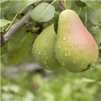 Fresh Picked Pears Fragrance Oil 749