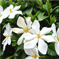 Honeysuckle Gardenia Fragrance Oil 757