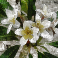 9680-Egyptian-Jasmine-Fragrance-Oil-417