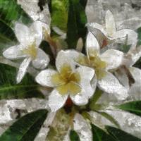 Egyptian Jasmine Fragrance Oil 417