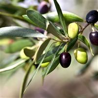 Tuscan Olive Leaf Fragrance Oil 787