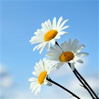 Hello Daisy Fragrance Oil (Special Order)