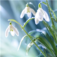 Snowdrops Fragrance Oil (Special Order)